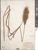 view Erianthus sp. digital asset number 1