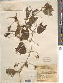 view Passiflora alnifolia Kunth digital asset number 1