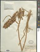 view Eremurus stenophyllus digital asset number 1