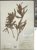 view Stigmaphyllon sagraeanum Juss. digital asset number 1
