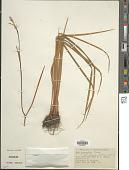 view Iris prismatica Pursh ex Ker Gawl. digital asset number 1