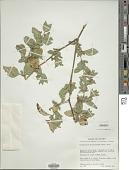 view Dyschoriste hirsutissima (Nees) Kuntze digital asset number 1