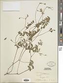 view Coursetia caribaea (Jacq.) Lavin var. caribaea digital asset number 1