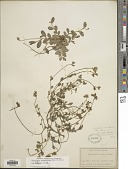 view Crotalaria rotundifolia (Walter) J.F. Gmel. var. rotundifolia digital asset number 1