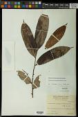 view Pseudoxandra polyphleba (Diels) R.E. Fr. digital asset number 1