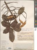 view Diplotropis brasiliensis (Tul.) Benth. digital asset number 1