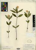 view Ruellia caroliniensis f. hypopsila Fernald digital asset number 1
