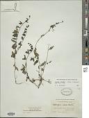 view Siphonoglossa pilosella (Nees) Torr. digital asset number 1