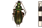 view Golden Ground Beetle digital asset number 1