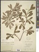 view Daphnopsis occidentalis (Sw.) Krug & Urb. digital asset number 1