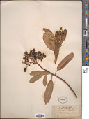 view Heteromeles arbutifolia (Lindl.) Roemer digital asset number 1