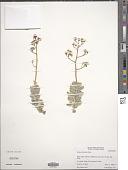 view Sedum allantoides Rose digital asset number 1
