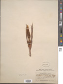 view Xanthosoma robustum Schott digital asset number 1
