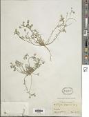 view Astragalus dispermus A. Gray digital asset number 1