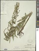 view Hackelia floribunda (Lehm.) I.M. Johnst. digital asset number 1
