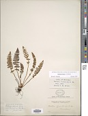 view Woodsia ilvensis (L.) Aiton digital asset number 1
