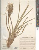view Eustachys distichophylla (Lag.) Nees digital asset number 1