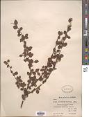 view Cotoneaster dielsianus E. Pritz. ex Diels digital asset number 1