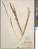 view Eragrostis elongata (Willd.) J. Jacq. digital asset number 1