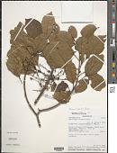 view Macaranga macropoda Baker digital asset number 1