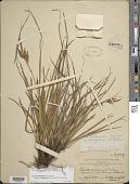 view Carex wahuensis var. rubiginosa R.W. Krauss digital asset number 1