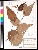 view Croton pseudofragrans Croizat digital asset number 1