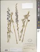 view Delphinium distichum Geyer digital asset number 1