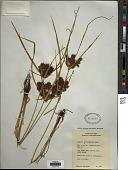view Cyperus erythrorhizos Muhl. digital asset number 1