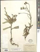 view Hieracium scabriusculum var. saximontanum Lepage digital asset number 1