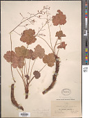view Heuchera leptomeria Greene digital asset number 1