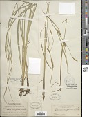 view Carex pellita Muhl. ex Willd. digital asset number 1