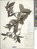 view Aidia genipiflora (DC.) Dandy digital asset number 1