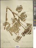 view Imperatoria ostruthium L. digital asset number 1