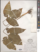 view Typhonium trilobatum (L.) Schott digital asset number 1