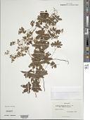 view Lygodium palmatum (Bernh.) Sw. digital asset number 1