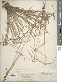 view Cyperus hortensis (Salzm. ex Steud.) Dorr digital asset number 1