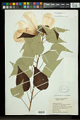 view Hibiscus moscheutos subsp. lasiocarpos (Cav.) O.J. Blanch. digital asset number 1