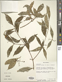view Syzygium oleosum (F. Muell.) B. Hyland digital asset number 1