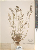 view Agrostis capillaris L. digital asset number 1