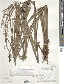 view Lagenocarpus rigidus (Kunth) Nees digital asset number 1