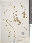 view Cerastium campestre Greene digital asset number 1