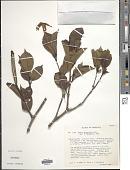 view Hillia parasitica Jacq. digital asset number 1