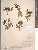 view Rosa woodsii var. ultramontana Lindl. digital asset number 1