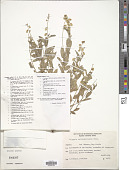 view Polygala mollis Kunth digital asset number 1
