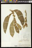 view Columnea sanguinea (Pers.) Hanst. digital asset number 1