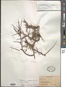 view Rhamnus pallasii Fisch. & C.A. Mey. digital asset number 1