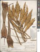 view Tillandsia fasciculata Sw. digital asset number 1
