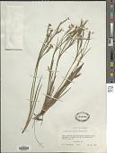 view Sisyrinchium pruinosum E.P. Bicknell digital asset number 1