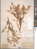 view Holodiscus microphyllus Rydb. digital asset number 1