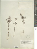view Melampyrum lineare subsp. typicum Pennell digital asset number 1